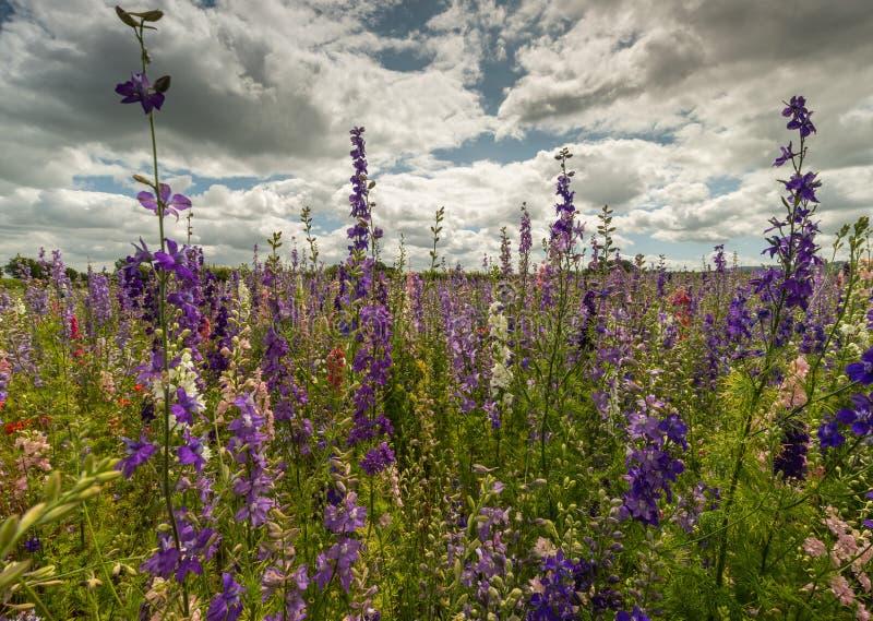 Красочные Delphiniums в поле стоковое фото rf
