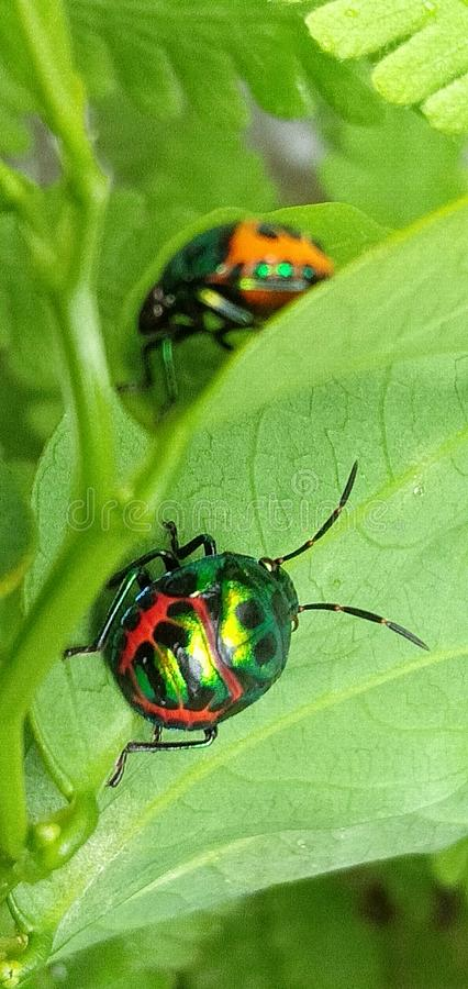 Красочные Ladybird/Ladybug на зеленых лист стоковые фотографии rf
