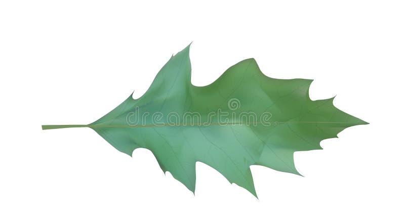 Красочные naturalistic лист дуба также вектор иллюстрации притяжки corel бесплатная иллюстрация