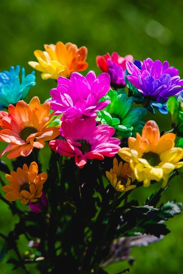 красочный всход крупного плана хризантемы радуги стоковое изображение rf