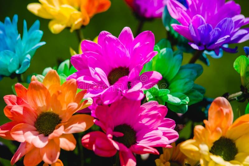 красочный всход крупного плана хризантемы радуги стоковые фотографии rf
