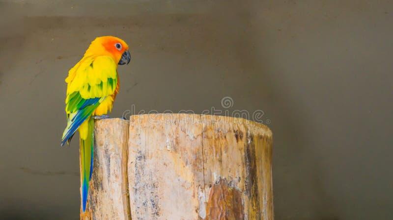 Красочный длиннохвостый попугай jandaya сидя на пне дерева в крупном плане стоковое фото
