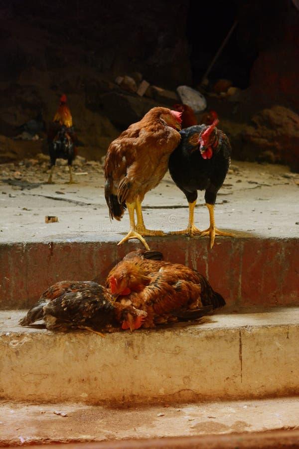 Красочный живой цыпленок в конюшне на муке стоковое фото
