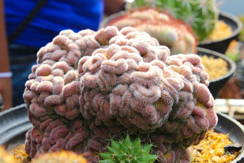 Красочный кактус для садовничать стоковая фотография rf