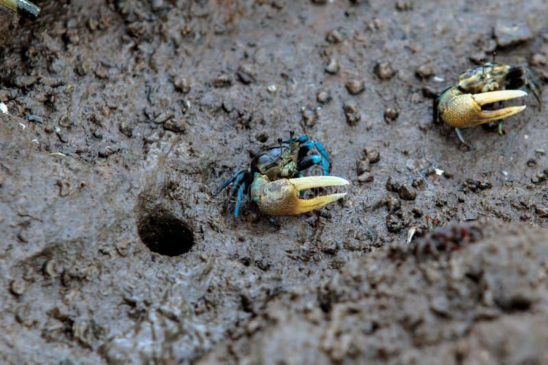 Красочный краб на глине грязи около пляжа моря на море или океан на poo челки, Samutprakan, Таиланд стоковые фотографии rf