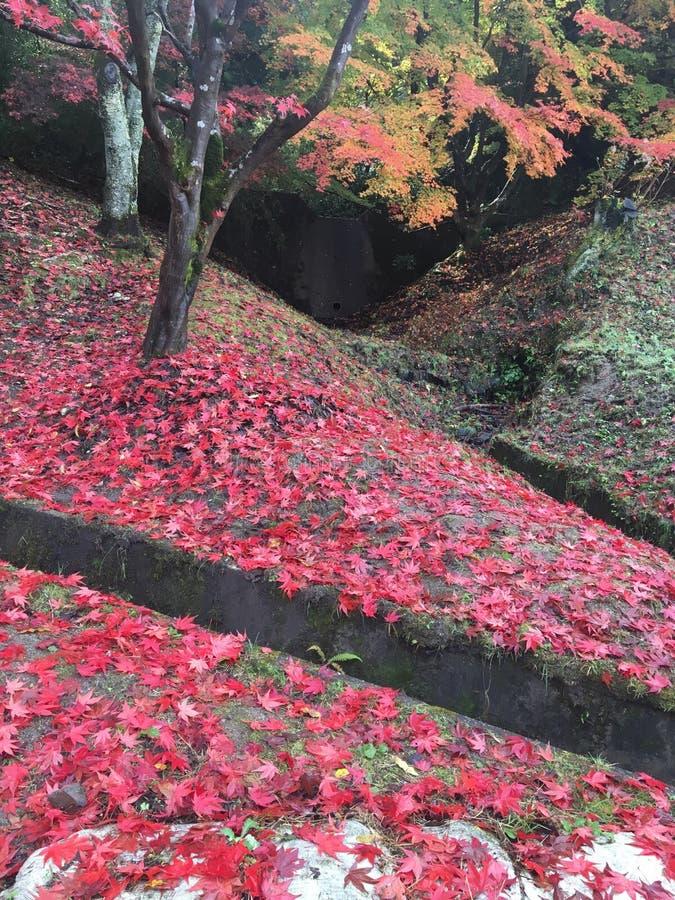 Красочный красного клена стоковые фотографии rf