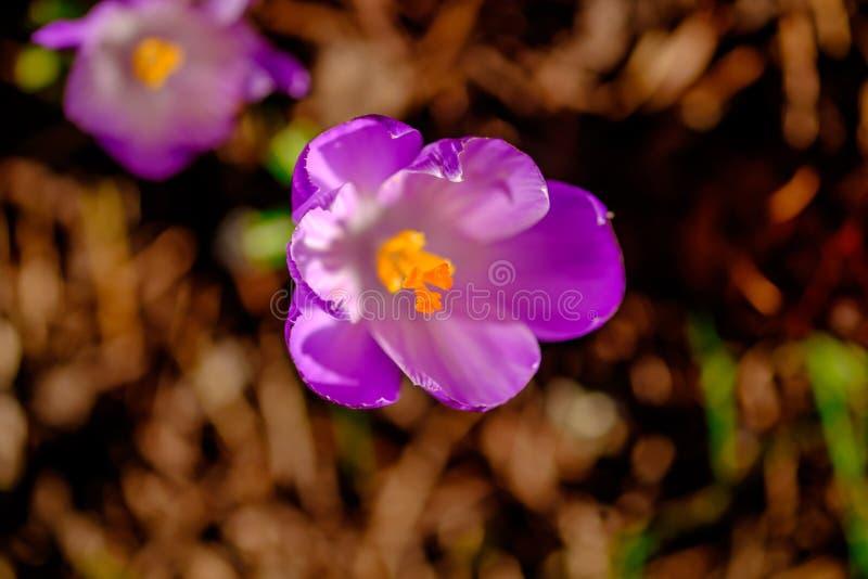Красочный крокус весны стоковые фото