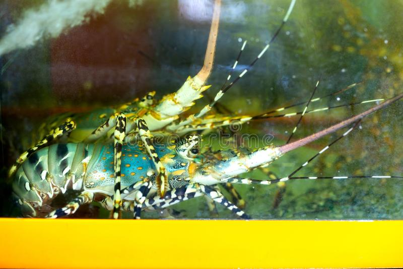 Красочный омар в танке аквариума стоковые изображения rf