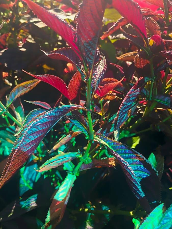 Download красочный персидский завод экрана в цветени Стоковое Фото - изображение насчитывающей радужно, evergreen: 81815286
