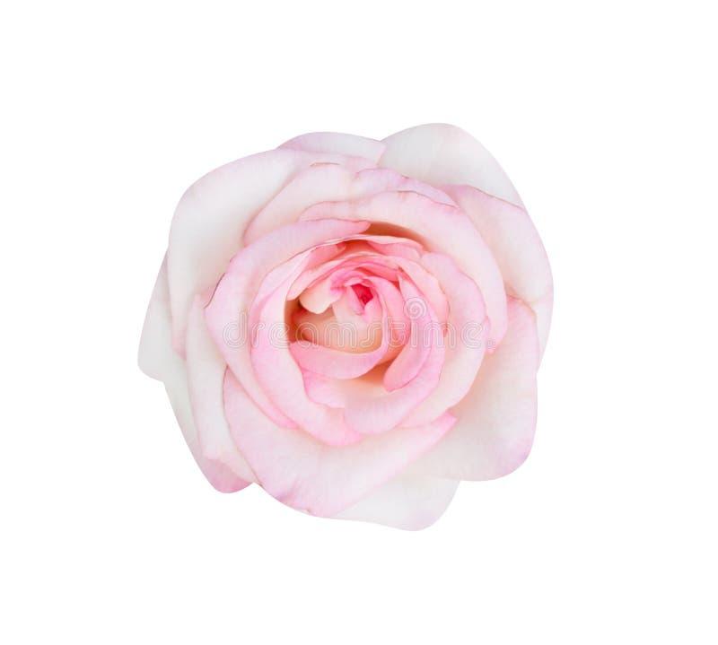 Красочный пинк взглядом сверху цветков зацветая поднял изолированным на белой предпосылке, красивых естественных картинах стоковые изображения rf