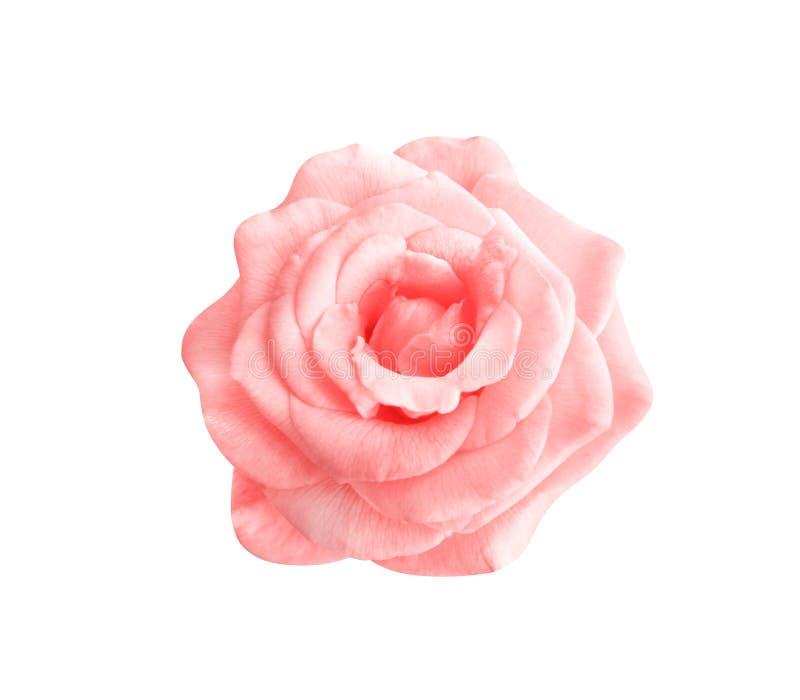 Красочный пинк взглядом сверху цветков зацветая поднял изолированным на белой предпосылке, красивых естественных картинах стоковая фотография