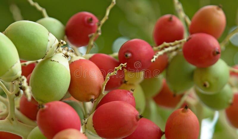 Красочный плод кокосов ладони стоковая фотография rf