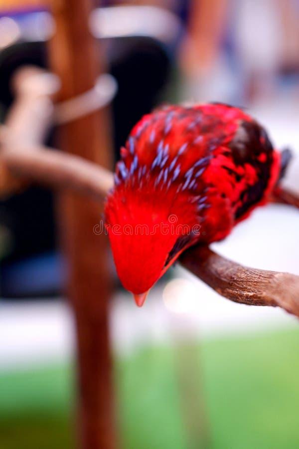Красочный попугай пигмея стоковое фото rf