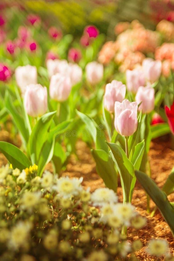 Красочный розовый тюльпан цветя в саде стоковые фото