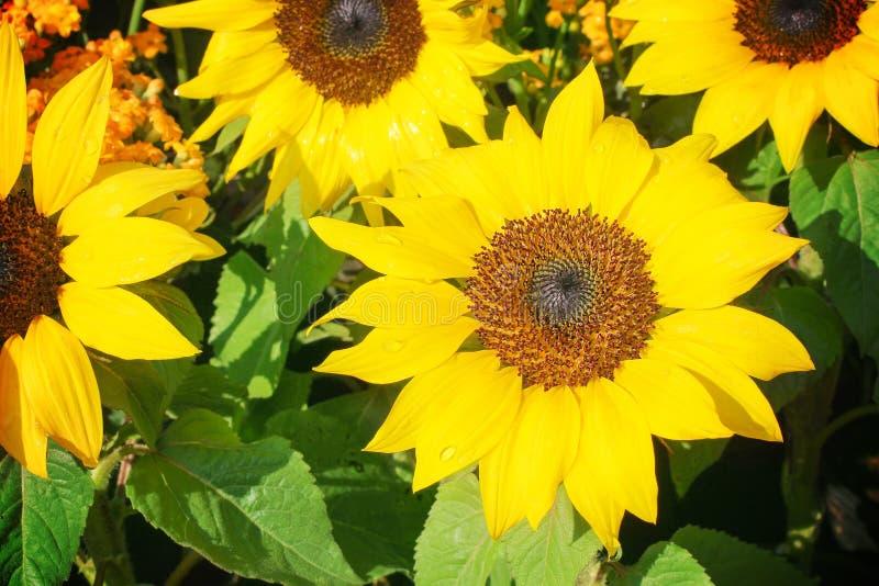 Красочный солнцецвет зацветая с взглядом сверху падений воды в саде стоковое фото rf