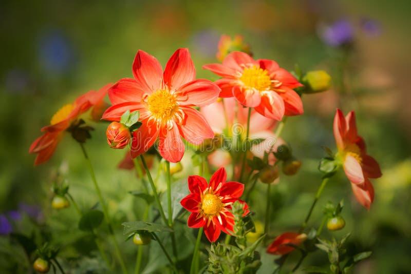 Красочный цветков георгина в саде - (Селективный фокус) стоковое изображение rf