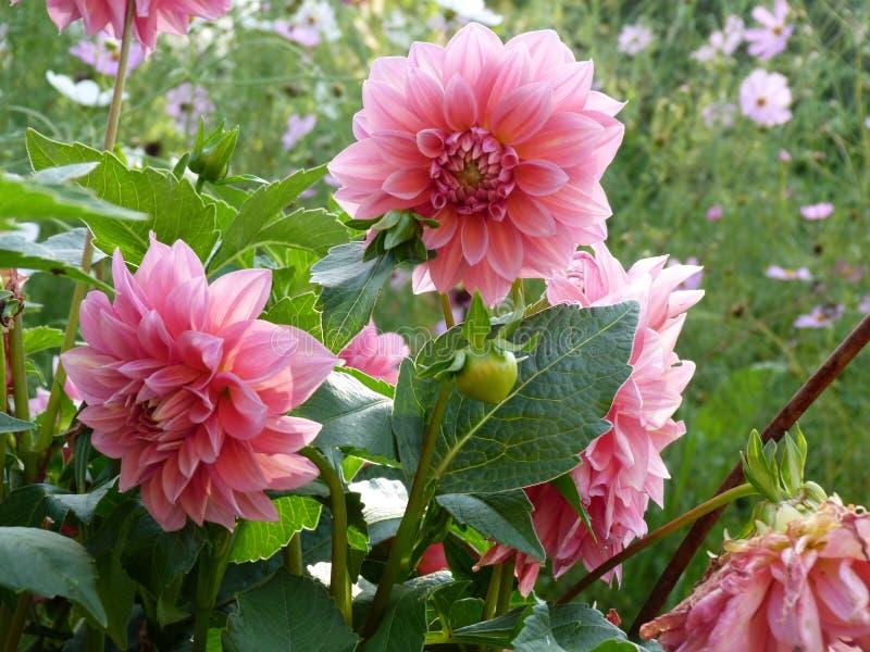 Красочный цветок георгина стоковое изображение