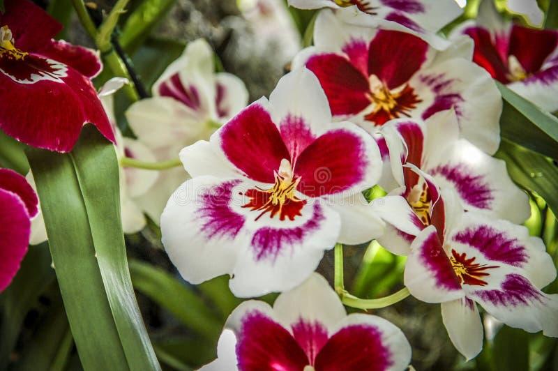 Красочный цветок Cymbidium стоковое фото rf
