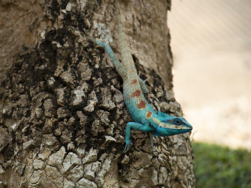 Красочный цвет изменения хамелеона для защиты itslef от врага стоковые фото