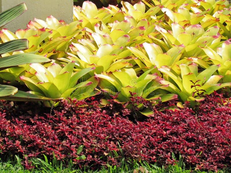 Красочный Bromeliad Neoregelia в тропический благоустраивать стоковые фото