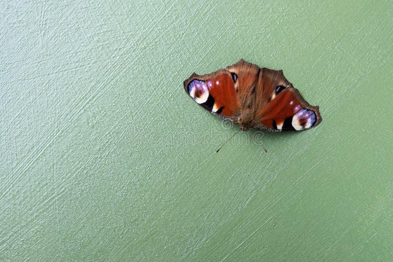 Красочный Inachis io нимфалиды бабочки дальше gren предпосылка стоковые изображения rf