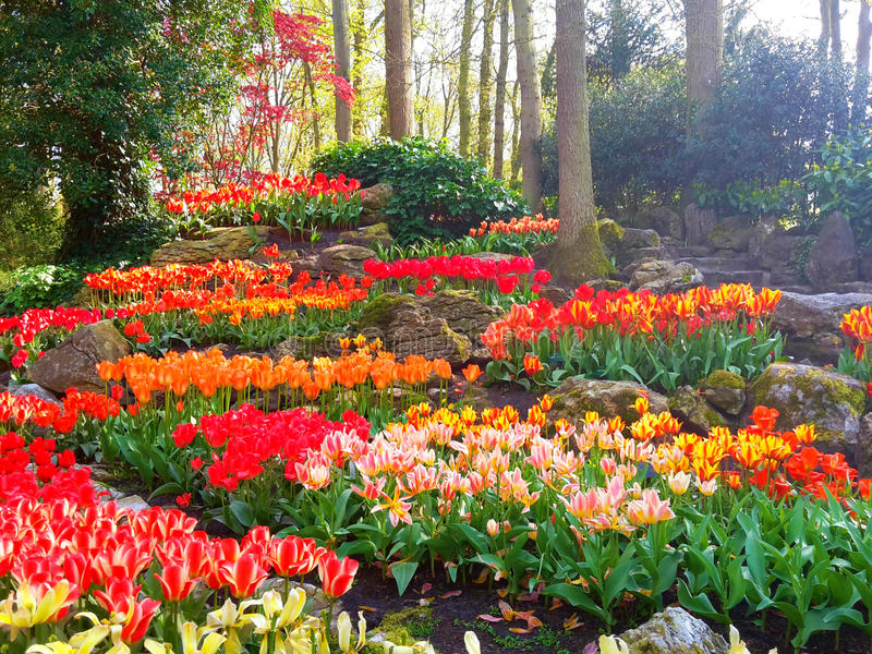 Красочный rockery тюльпана в Keukenhof стоковые фотографии rf