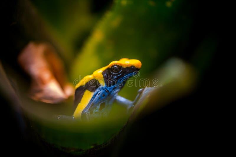 Крася лягушка дротика, ядовитая тропическая лягушка стоковое изображение