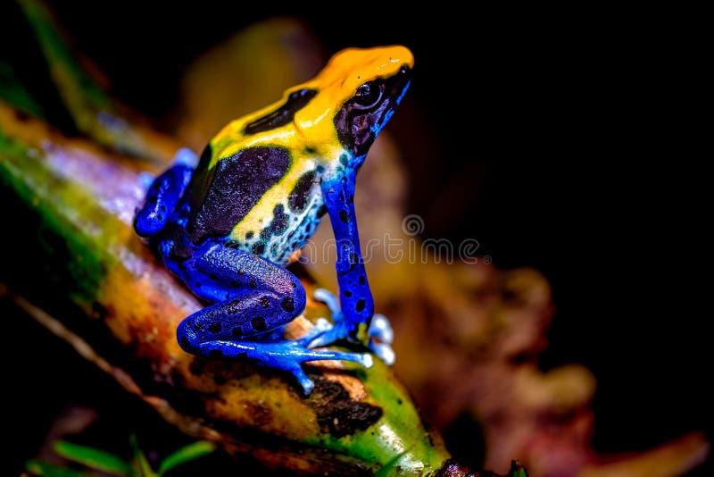 Крася лягушка дротика, tinc стоковое фото rf