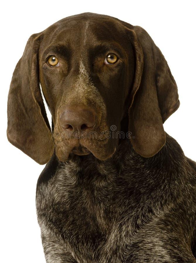краткость указателя собаки немецкая с волосами стоковое фото