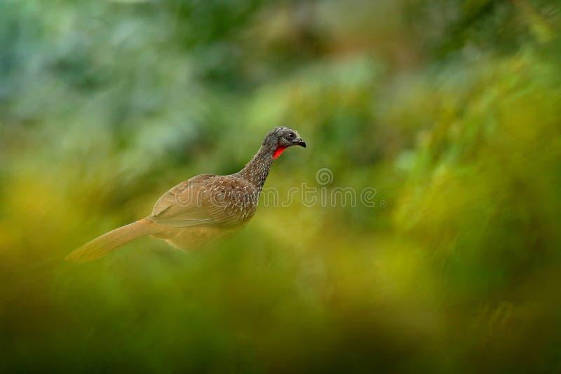 Крепкохвостая гуань, пенелопа-аргиротис, редкая птица из темного леса горы Санта-Марта, Колумбия Наблюдение за птицами в Южной Ам стоковое изображение