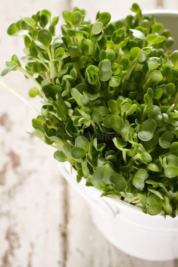кресс-салат kaiware стоковые изображения
