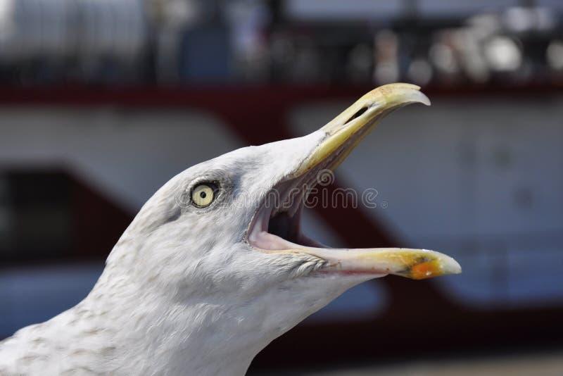 Кричащая чайка стоковое фото