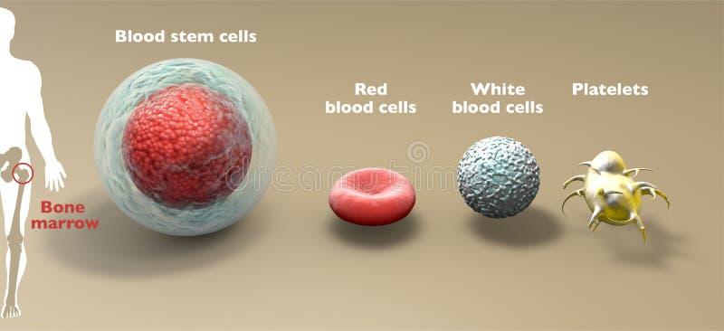 Кровавые стволовые клетки - это незрелая клетка, которая может развиться во все виды кровяных клеток: белые кровяные тельца, крас иллюстрация вектора