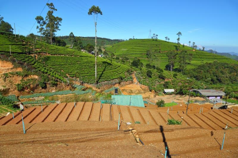 Кровати сада и плантация чая в Шри-Ланке стоковые изображения