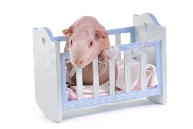 кроватка cavy младенца любознательная стоковое фото rf