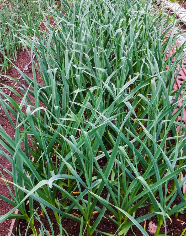 Кровать молодых зеленых всходов чеснока стоковые изображения rf