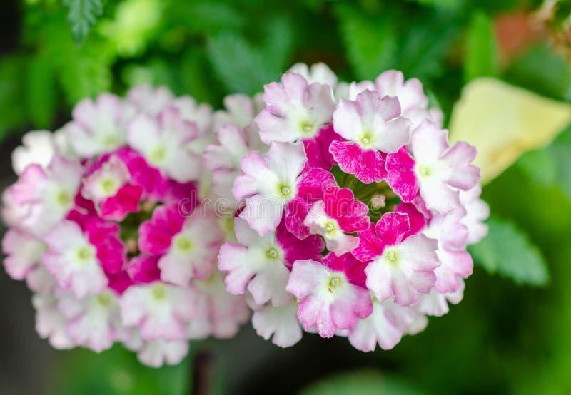 Кровать сада пинка и белых цветков стоковая фотография rf