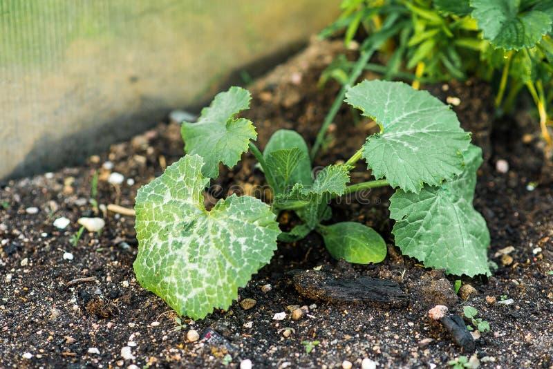 Кровать с всходами салата, базилика и других зеленых цветов Семена засева и всхода в саде стоковая фотография rf