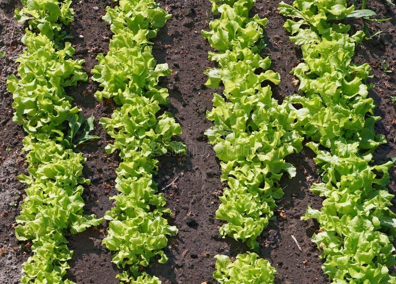 Кровать с свежим зеленым салатом стоковые изображения
