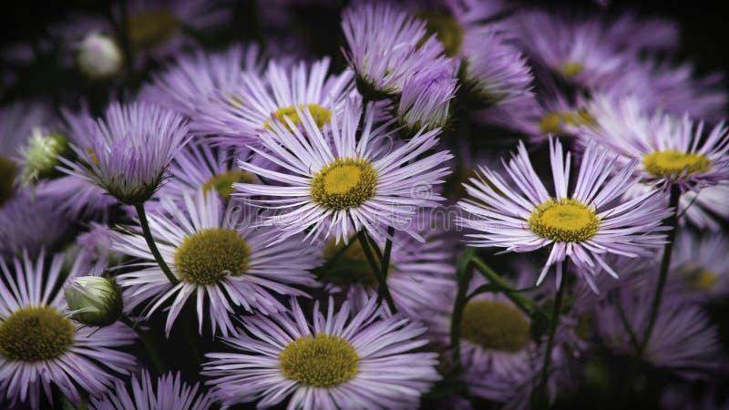 Кровать фиолетовых цветков стоковые фото