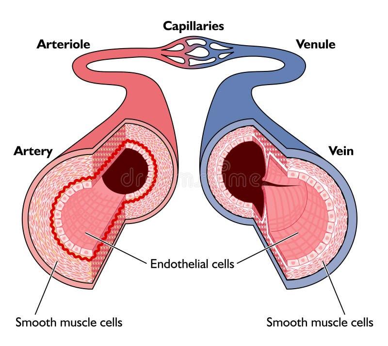 кровеносные сосуды анатомирования иллюстрация вектора