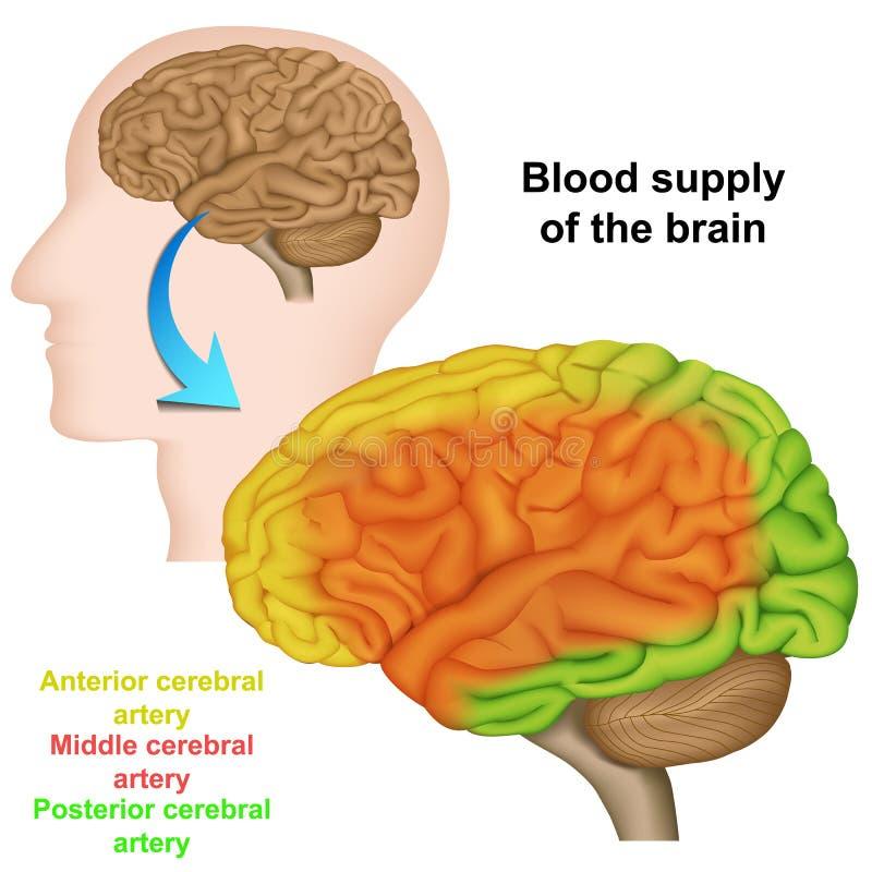 Кровоснабжение человеческого мозга, медицинская иллюстрация вектора бесплатная иллюстрация