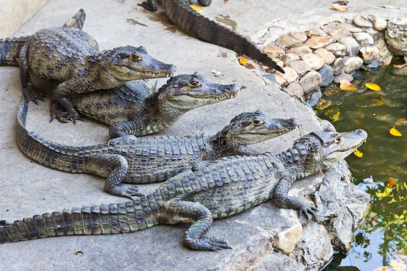 крокодилы наблюдая детенышей стоковая фотография