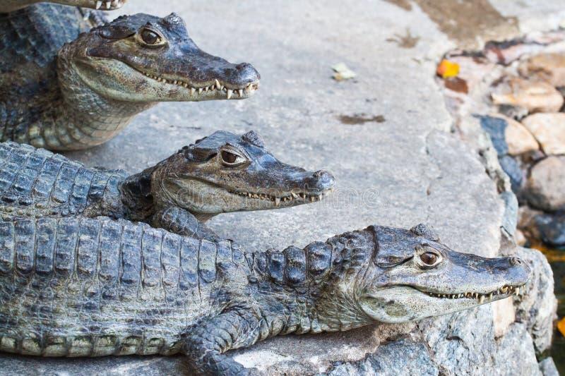 крокодилы отдыхая детеныши стоковые фото
