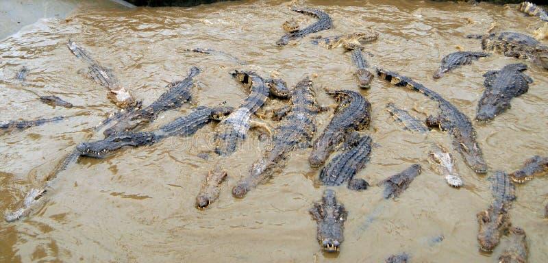 крокодилы свирепые стоковая фотография rf