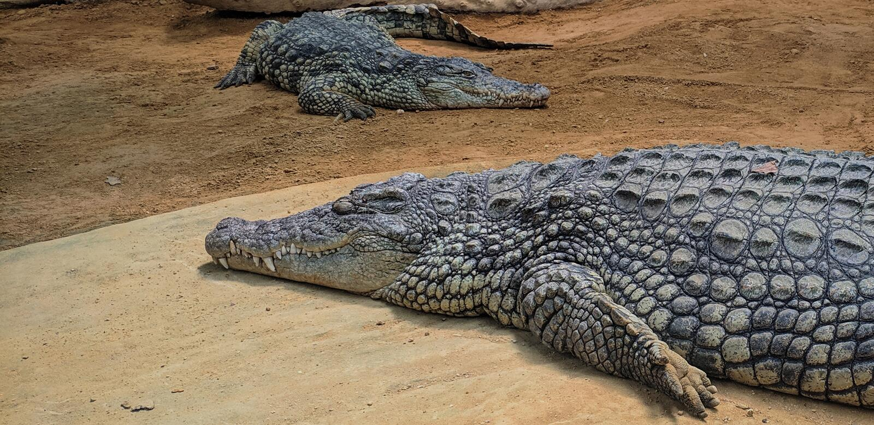 Крокодилы с глазой навыкате стоковые фотографии rf