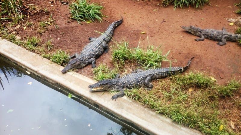 крокодилы стоковые изображения rf