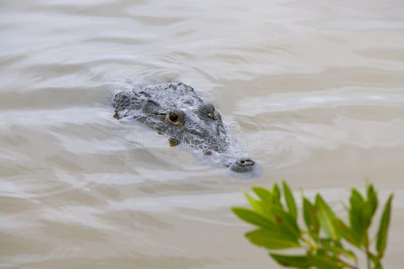 крокодил аллигатора пряча тинную воду стоковая фотография rf