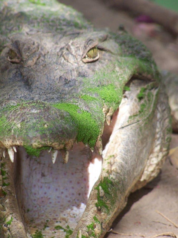 крокодил Гамбия стоковая фотография rf