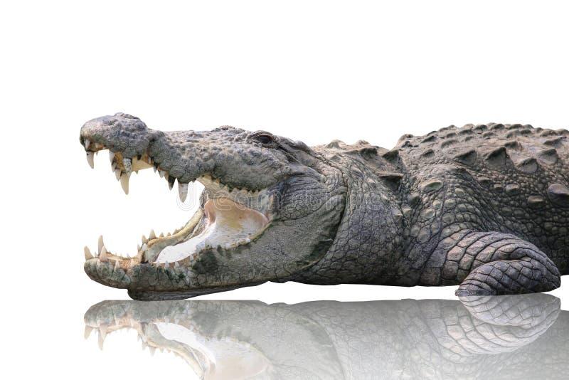 Крокодил изолированный на белой предпосылке стоковая фотография rf